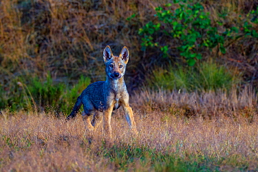 Wolf (Canis lupus), cub in grass, Saxony-Anhalt, Germany, July.
