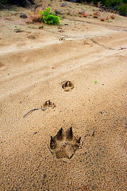 Wolf (Canis lupus) footprints, Saxony, Germany, July.