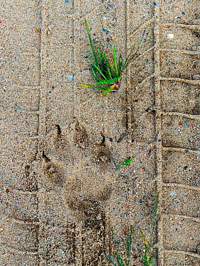 Wolf (Canis lupus) footprints in tire tracks, Saxony-Anhalt, Germany, August.