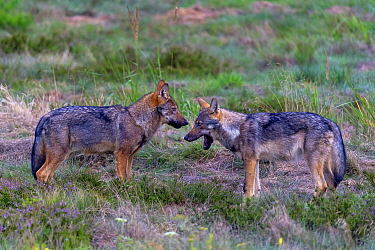 Wolf (Canis lupus), young wolves play fighting in meadow, Saxony-Anhalt, Germany.