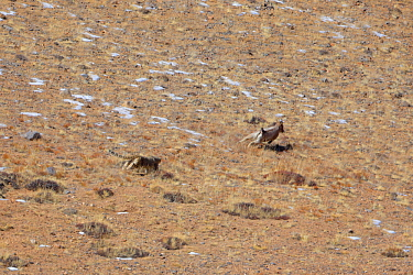 Snow leopard (Panthera uncia) male hunting an Himalayan ibex (Capra sibirica) in Spiti valley, Cold Desert Biosphere Reserve, Himalaya mountains, Himachal Pradesh, IndiaS, February