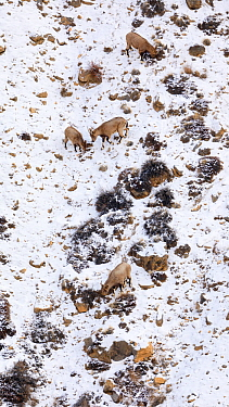 Himalayan ibex (Capra sibirica) females and young in Spiti valley, Cold Desert Biosphere Reserve, Himalaya mountains, Himachal Pradesh, India, February
