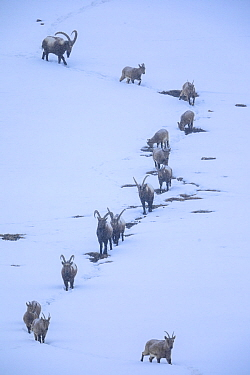 Himalayan ibex (Capra sibirica) during a snowfall, coming down the mountain at dusk to sleep at lower altitude, around Kibber village, Spiti valley, Cold Desert Biosphere Reserve, Himalaya mountains,...