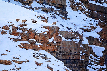 Himalayan ibex (Capra sibirica) on the snow in a canyon cliff ledge, Spiti valley, Cold Desert Biosphere Reserve, Himalaya mountains, Himachal Pradesh, India, February