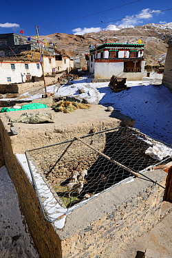 Sheep pen covered in wire to protect livestock from Snow leopard (Pantehera uncia) attack in the village of Kibber in Spiti valley, Cold Desert Biosphere Reserve, Himalaya mountains, Himachal Pradesh,...