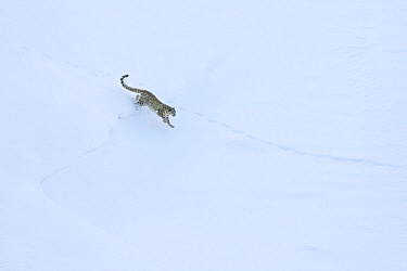 Snow leopard (Panthera uncia) male running hunting Himalayan ibex on the snow in Spiti valley, Cold Desert Biosphere Reserve, Himalaya mountains, Himachal Pradesh, India, February