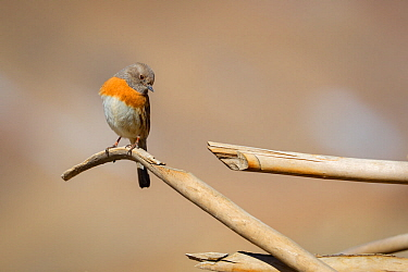 Robin accentor (Prunella rubeculoides) in Spiti valley, Cold Desert Biosphere Reserve, Himalaya mountains, Himachal Pradesh, India, February