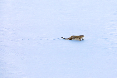 Snow leopard (Panthera uncia) male stalking Himalayan ibex on the snow in Spiti valley, Cold Desert Biosphere Reserve, Himalaya mountains, Himachal Pradesh, India, February