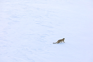 Snow leopard (Panthera uncia) male on snow stalking Himalayan ibex in Spiti valley, Cold Desert Biosphere Reserve, Himalaya mountains, Himachal Pradesh, India, February