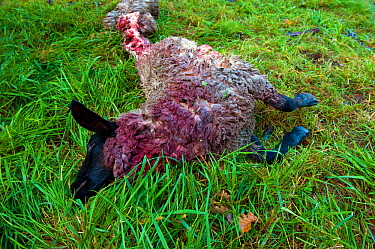 Sheep (Ovis aries),domestic livestock, killed by wolf (Canis lupus) Saxony, Lusatia, Germany, October.