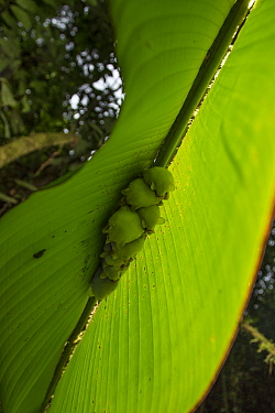 White tent making bat (Ectophylla alba) roosting in Heleconia leaf, La Selva Field Station, Costa Rica.