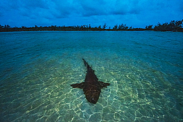 Nurse shark (Ginglymostoma cirratum) resting in shallow water at sunset to save energy for mating which will take place the next morning. Eleuthera, Bahamas.