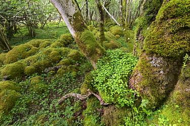 Wood sorrel (Oxalis acetosella) leaves at base of tree in ancient Ash (Fraxinus excelsior) woodland in spring. Rassal Ashwood National Nature Reserve, Highlands, Scotland, UK.