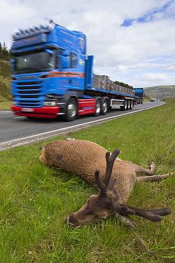 Red deer (Cervus elaphus) stag, dead on side of A9 road. Pass of Drumochter, Highlands, Scotland, UK.
