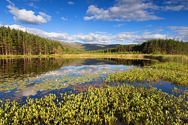 Bogbean (Menyanthes trifoliata) and White waterlily (Nymphaea alba) on lochan with forests and hills beyond. Uath Lochans, Glenfeshie, Cairngorms National Park, Scotland, UK. July.
