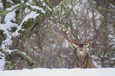 Red deer (Cervus elaphus) stag in Birch woodland. Alladale Wilderness Reserve, Ardgay, Highlands, Scotland, UK. December