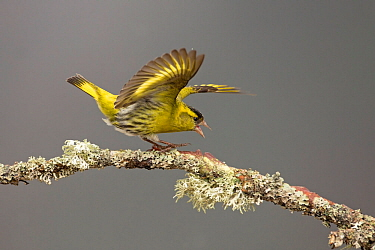 Siskin (Carduelis spinus) male showing aggression, perched on lichen covered branch. Scotland, UK. May.