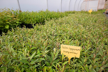 Downy willow (Salix lapponum) saplings to be used in habitat restoration. Trees for Life nursery, Dundreggan Conservation Estate, Dumfries and Galloway, Scotland, UK.