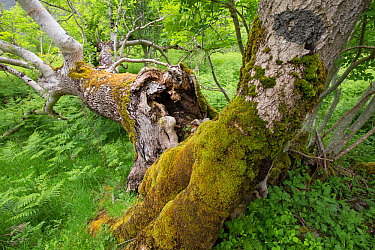Deadwood decaying in ancient Ash (Fraxinus excelsior) woodland. Rassal National Nature Reserve, Wester Ross, Highland, Scotland, UK.