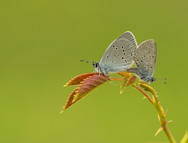 Small blue adult, Cupido minimus, pair mating, Bedfordshire