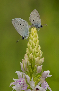 Small blue adult, Cupido minimus, pair mating on common spotted orchid, Bedfordshire