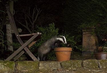 Badger (Meles meles) investigating flowerpot in urban garden at night. Sheffield, England, UK. August.
