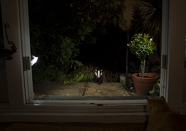Badger (Meles meles) in garden at night, viewed through conservatory doors. Cat looking on from inside. Sheffield, England, UK. August.