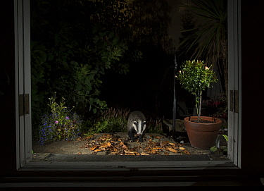 Badger (Meles meles) in garden at night, viewed through conservatory doors. Sheffield, England, UK. August.