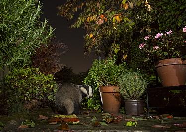 Badger (Meles meles) between flowerpots on garden pation. Sheffield, England, UK. October.