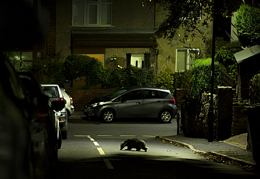 Badger (Meles meles) crossing road in residential area at night. Sheffield, England, UK. October 2018.