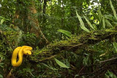 Eyelash viper (Bothriechis schlegelii) on branch in rainforest. Costa Rica. 2018.