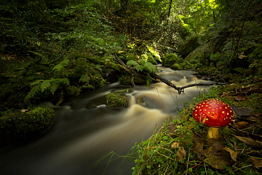 Fly agaric toadstool (Amanita muscaria) on river bank, in deciduous woodland. Sheffield, England, UK.