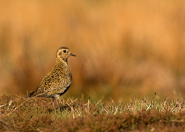 Golden plover (Pluvialis apricaria). Sheffield, South Yorkshire, England, UK. May.
