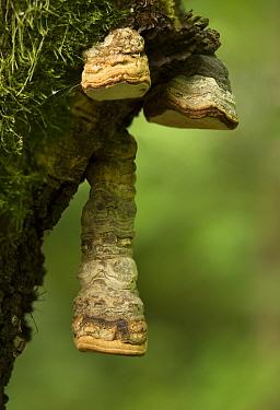 Horse shoe fungus (Fomes fomentarius) on dead Birch (Betula sp). Nottinghamshire, England, UK. August.