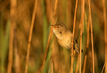 Reed warbler (Acrocephalus scirpaceus) vocalising whilst perched amongst reeds in morning light. Sheffield, England, UK. May.