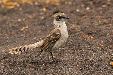 Galapagos mockingbird (Mimus parvulus). San Cristobal Island, Galapagos.