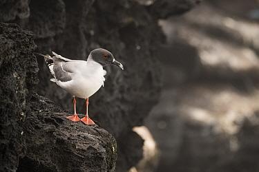 Swallow-tailed gull (Creagrus furcatus) perched on volcanic rock. San Cristobal Island, Galapagos.
