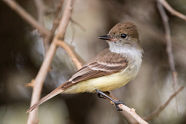 Galapagos flycatcher (Myiarchus magnirostris) perched on branch. San Cristobal Island, Galapagos.