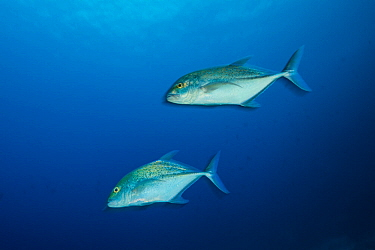 Bluefin trevally (Caranx melampygus), two off Cocos Island National Park, Costa Rica.