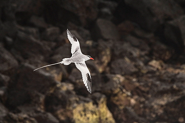 Red billed tropicbird (Phaethon aethereus) in flight over volcanic rock. San Cristobal Island, Galapagos.