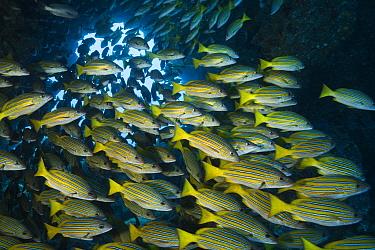 Blue-lined snapper (Lutjanus kasmira) shoal. Cocos Island National Park, Costa Rica.