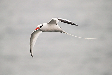 Red billed tropicbird (Phaethon aethereus) in flight. San Cristobal Island, Galapagos.