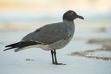 Lava gull (Larus fuliginosus) on beach. Isabela Island, Galapagos.
