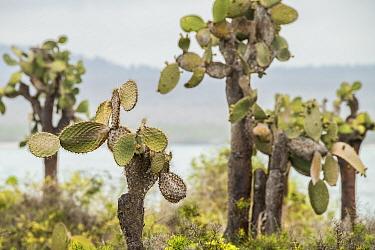 Galapagos prickly pear (Opuntia echios), a vulnerable species. Isabela Island, Galapagos.