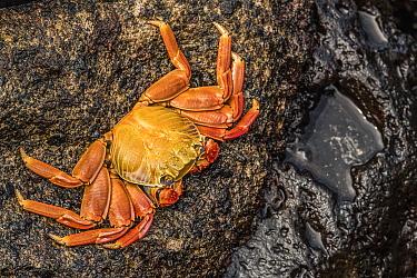 Sally lightfoot crab (Grapsus grapsus) clinging to a rock. Isabela Island, Galapagos.