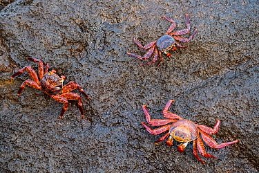 Sally lightfoot crab (Grapsus grapsus), three clinging to rock. Isabela Island, Galapagos.