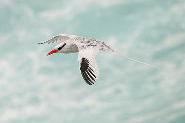 Red-billed tropicbird (Phaethon aethereus) in flight. San Cristobal Island, Galapagos.