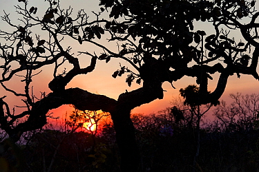 Tree silhouetted by burning forest fire during dry season. Chapada dos Veadeiros National Park, Goias, Brazil.