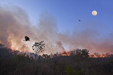 Fires in the Cerrado during dry season. Vulture and birds of prey gathering overhead to feed. Chapada dos Veadeiros National Park, Goias, Brazil. September 2010.