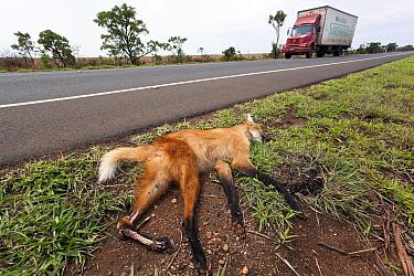 Maned wolf (Chrysocyon brachyurus) dead on roadside. very many animals are killed each year on the region's roads. Cerrado, Brazil.